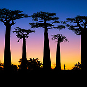 """Baobab trees in the allée des baobabs (alley of baobabs) in the western coastal region of Madagascar. <br /> <br /> Africa's """"Tree of Life"""" is dying because of habitat destruction and climate change.  Madagascar is the world's forth largest island off the coast of east Africa."""