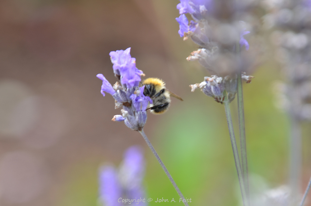 A bee having lunch from this blue flower.  Outside the Belleek factory, County Mayo, Northern Ireland. The bees in Ireland look a bit different from those in New Jersey.