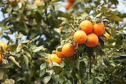 Israel, Sharon district, Citrus Grove, ripe oranges on the tree before picking