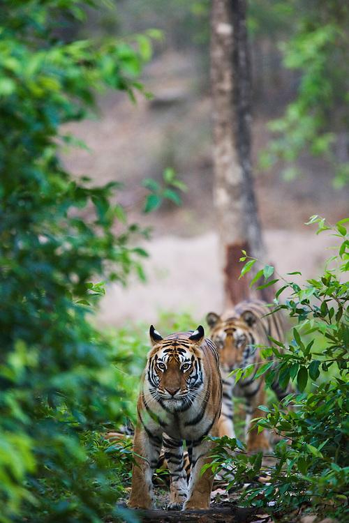 A pair of wild Indian bengal tigers (Panthera tigris tigris) approach as they walk through the forest,Bandhavgarh,Madhya Pradesh,India