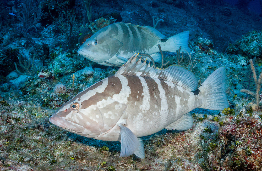 Two Nassau grouper rest during the daylight hours off Long Island, Bahamas. At sunset the grouper will spawn. The fish in the foreground shows the normal barred pattern while the fish in the background shows a color phase known as white-belly. During spawning the grouper will often change color and pattern. Scientists are still studying what the color changes mean.