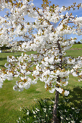 Prunus 'Shirotae' in blossom with narcissi planted around the base. Cherry