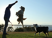 A golden doodle, tries to get a ball from her person as they played fetch before sunset at Sunset Hill Park in Seattle. (Colin Diltz / The Seattle Times)