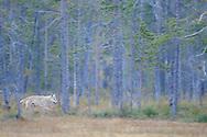Eurasian wolf, Canis lupus in Kuhmo, Finland.