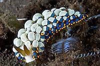 Aeolid Nudibranch