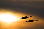 A pair of sandhill cranes (Grus canadensis) flies over the Bosque del Apache National Wildlife Refuge in New Mexico as the sun sets.