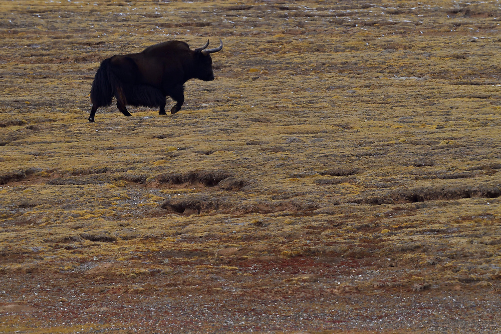 Wild Yak walking on grass, (Bos mutus), Keke Xili, Changtang,Tibetan Plateau, Qinghai, China