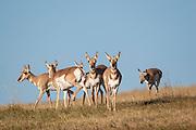 Pronghorn amtelope in South Dakota