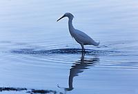 Snowy Egrets (Egretta thula) A white 24 inch bird with a black bill, black legs with bright yellow feet.