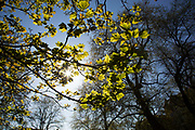Sunlight through spring growth of Plane trees in London, UK. Bright green leaves appearing to glow as the branches turn to leaf.