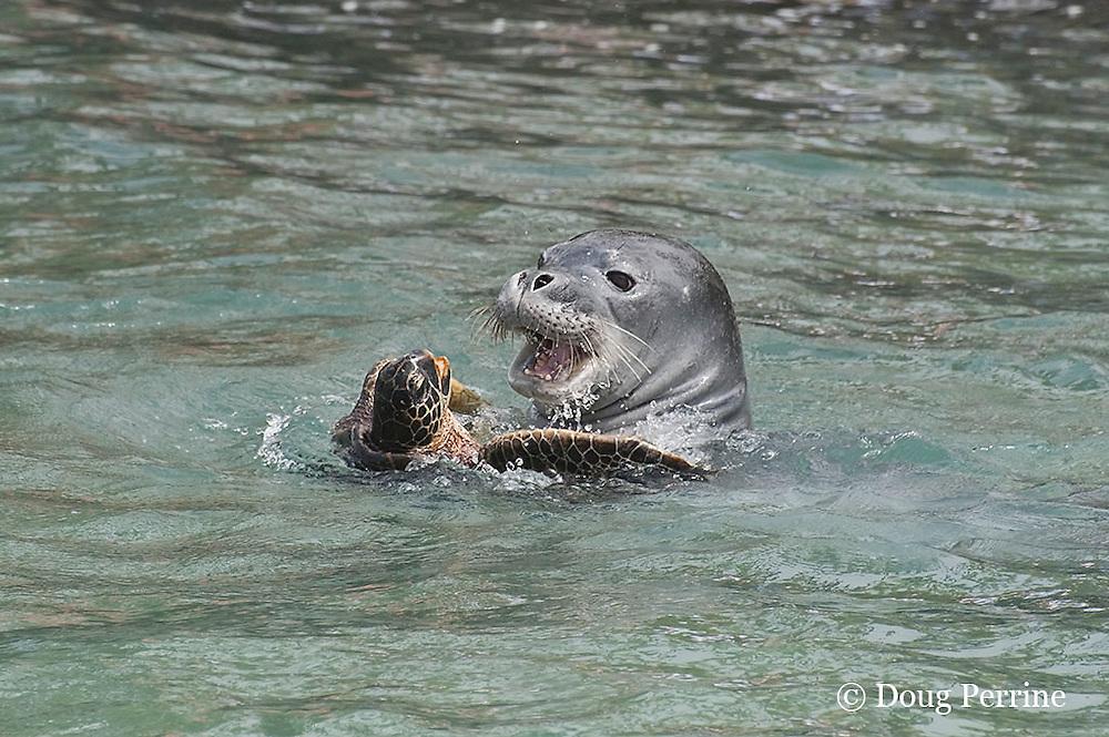 Hawaiian monk seal, Monachus schauinslandi, 2.5 year old male playing with unwilling green sea turtle or honu, Chelonia mydas, Pu'uhonua o Honaunau ( City of Refuge ) National Historical Park, Kona, Hawaii ( Big Island ) Hawaiian Islands, U.S.A. ( Central Pacific Ocean )