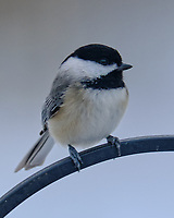 Black-capped Chickadee (Poecile atricapillus). Image taken with a Fuji X-T3 camera and 200 mm f/2 lens and 1.4x teleconverter
