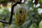 Cacao pod punctured and damaged by a woodpecker. Toledo Cacao Growers' Association (TCGA), San Jose, Toledo, Belize. January 25, 2013.