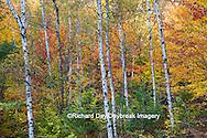 64776-01219 Birch trees in fall color Schoolcraft County Upper Peninsula Michigan