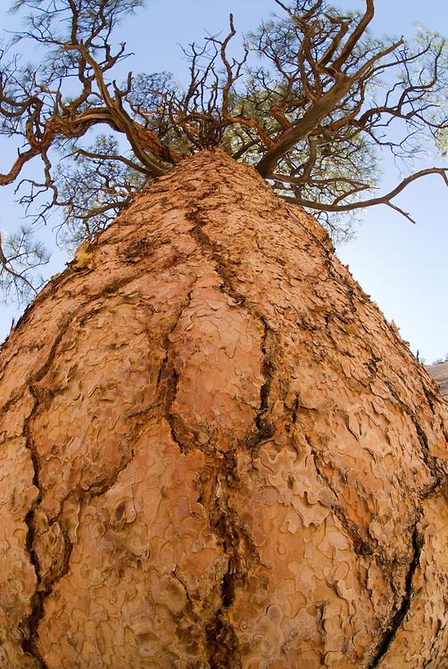 Pondersosa pine in Southern Utah's Willis Creek Canyon.