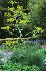 Giant fennel - Ferula communis in the high garden at Great Dixter