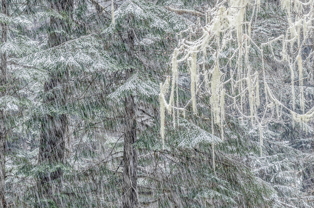 Lichens draped from tree branches, snowstorm, Olympic National Park, Washington. USA