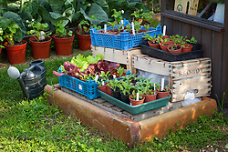 Trays of flower and salad seedlings hardening off in crates by a greenhouse