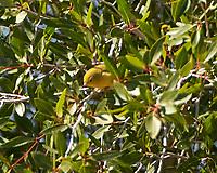 Yellow Warbler (Setophaga petechia). Windy Gap Reservoir, Grand County, Colorado. Image taken with a Nikon D2xs camera and 80-400 mm VR lens.