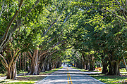 Banyan Tree Tunnel along Saint Lucie Blvd in Stuart, Florida.