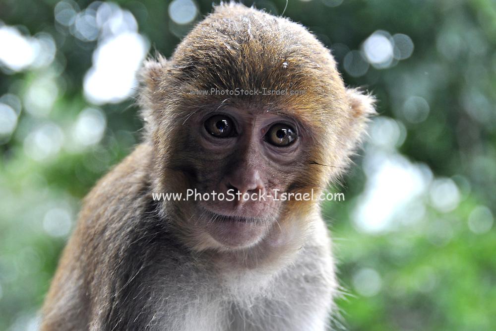 Myanmar Bagan Popa mountain park Rhesus Macaques Monkey