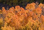 Golden fall aspens along Bishop Creek, Inyo National Forest, Sierra Nevada Mountains, California