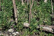 Marijuana plants, Jamaica.