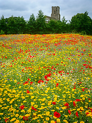 The cornfield at East Ruston Old Vicarage. Planting includes Centaurea cyanus ( cornflowers ), Chrysanthemum segetum ( corn marigolds ) and Papaver rhoeas ( field poppies )