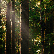 The forest in late afternoon light in the Sol Duc River Valley of Olympic National Park Washington.