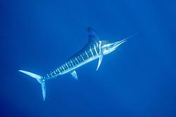 Striped Marlin, Tetrapturus audax, Pacific Ocean, Mexico