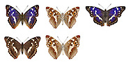 Purple Emperor - Apatura iris - male (top row) - female (bottom row). Wingspan 65mm. An impressive and iconic butterfly of broadleaved woodlands with tall oaks and mature Goat Willows (the larval foodplant). Adult has brown upperwings marked with a white band; the male has the purple sheen, only seen at certain angles. Underwings of both sexes are chestnut with a white band. Flies July-August. Larva is green with diagnostic 'horns' at head end. Rare and local, restricted to a few good woodlands in southern England.