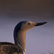 Red-throated Loon, (Gavia stellata) Nesting along shores of pond in Northwest Territories. Canada.