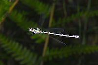 Variable Bluets damsel in flight (Coenagrion pulchellum). Insect in Flight, High Speed Photographic Technique Image by Andres Morya