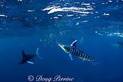 striped marlin, Kajikia audax (formerly Tetrapturus audax ), whacks bait fish with bill while feeding on baitball of sardines, or pilchards, Sardinops sagax, off Baja California, Mexico ( Eastern Pacific Ocean ) - at least twelve marlin visible in photo