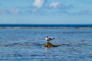 Greater Crested Tern-Sterne huppée (Thalasseus bergii), Birds of Polynesia.