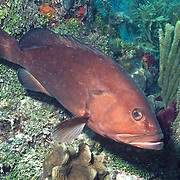Red Grouper inhabit reefs in Tropical West Atlantic; picture taken Key Largo, FL.