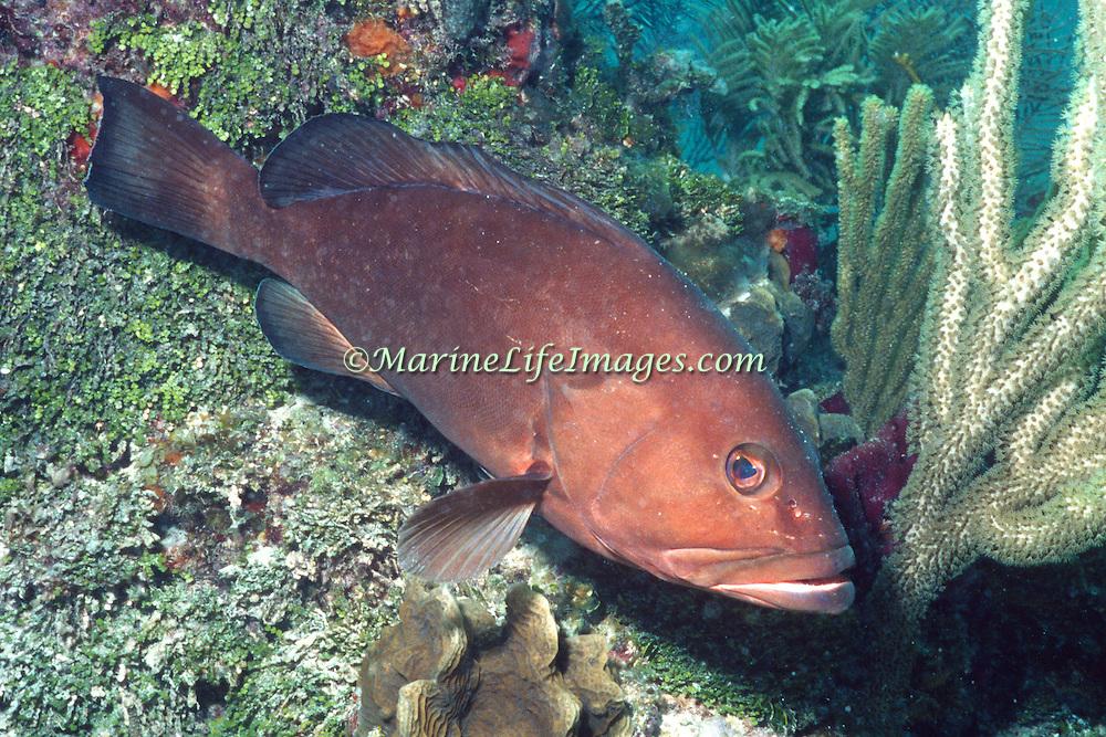 Red Grouper inhabit reefs in Tropical West Atlantic; picture taken Key Largo, FL.