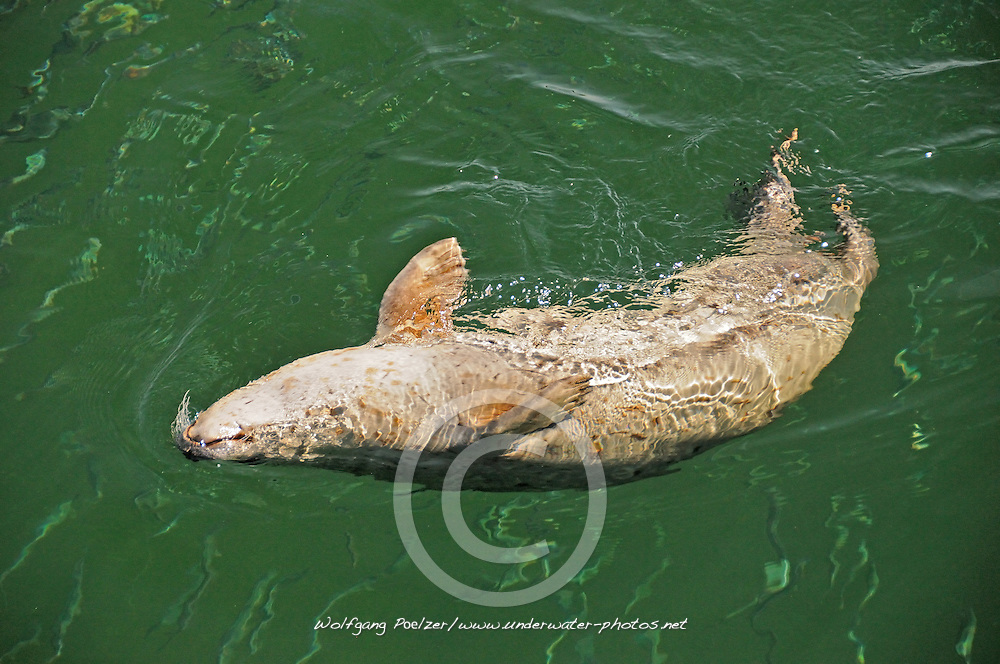 Common Seal, Phoca vitulina vitulina, hunting herring, Rostock, Warnemuende, Germany, Baltic Sea