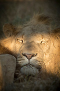 Close-up of male lion (Panthera leo) sleeping in Hlane Royal National Park, Eswatini