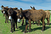 Donkeys shedding their winter coats in pasture at St Martin de Re, Ile de Re, France