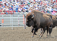 """Bison enter the arena, part of John Payne's """"One Arm Bandit"""" entertainment on Sunday, the last day of the 2013 California Rodeo Salinas."""