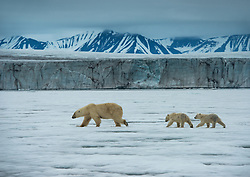 Polar bear (Ursus maritimus) with two cubs in front of glacier in Spitsbergen, Svalbard