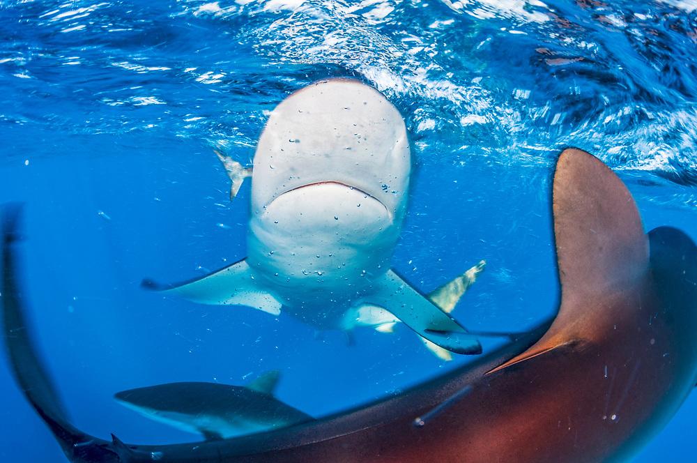 Silky sharks (Carcharhinus falciformis) in the pelagic, open ocean off Jardines de la Reina, Gardens of the Queen National Park, Cuba