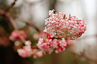 Small pink blooms on a tree