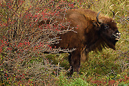 European bison or Wisent, Bison bonasus, herd  at Kraansvlak, Kennemerduinen, in the Zuid Kennemerland National Park, Netherlands. Images taken in a huge enclosure, where the bison live a completely wild life.