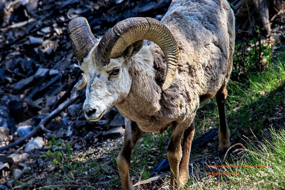 Leading Bighorn : One of the leaders of a small herd of Bighorn Sheep in Banff National Park, Alberta Canada.