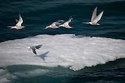 Arctic terns, Sterna Paradisaea, taking off from ice floe near Humboldt Glacier, Greenland.