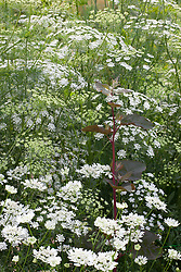 Ammi majus with Orlaya grandiflora and dill