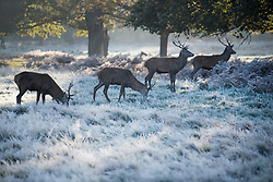 © Licensed to London News Pictures. 04/11/2020. London, UK. Deer stags grazing in a frost covered landscape at sunrise in Richmond Park, south west London on a cold Autumn morning. Photo credit: Ben Cawthra/LNP