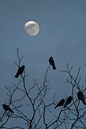 Middletown, New York - Crows (Corvus brachyrhynchos) perch on a tree branches with the moon in the background at twilight on Feb. 4, 2012. The image is a composite of two photographs, one focused on the crows and a second focused on the moon.